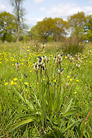 Ribwort Plantain growing in a Lancashire meadow. Summer.