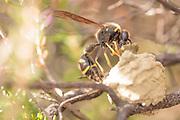 Heath potter wasp (Eumenes coarctatus) constructing clay nest pot in heather. Surrey, UK.