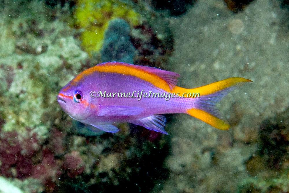 Purple Anthias inhabit reefs. Picture taken Raja Lembeh Straits, Sulawesi, Indonesia.
