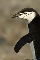 Chinstrap Penguin (Pygoscelis antarctica) in Mikkelson Harbor, Trinity Island, Antarctic Peninsula.