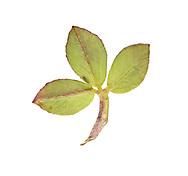 Twin-headed Clover - Trifolium bocconei