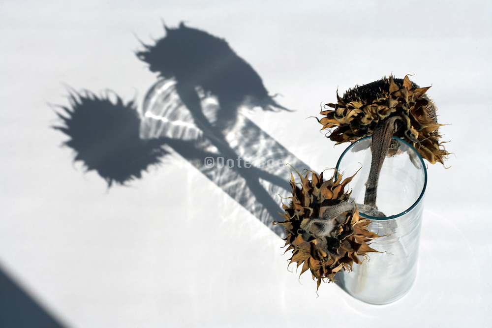 dried up sunflowers in vase without water