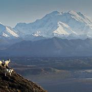 Dall sheep rams on a ridge overlooking Mount Denali in Denali National Park.