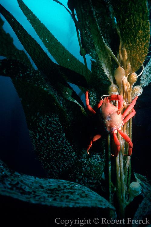 UNDERWATER MARINE LIFE EAST PACIFIC: Southern California coast CRABS: Southern kelp crab, on giant kelp Taliepus nuttalli