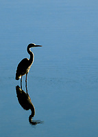 The estuaries of San Diego's north county coastline attract birds of all kinds.  The estuaries are alway beautiful, the birds are always there.  But sometimes, sometimes, the conditions are perfect to make a fine photograph.  Here we caught a great blue heron on a glass smooth surface.