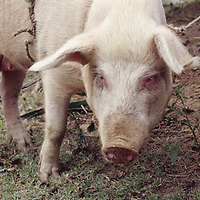 A pig is tied to a rope on an estancia near Chillo.