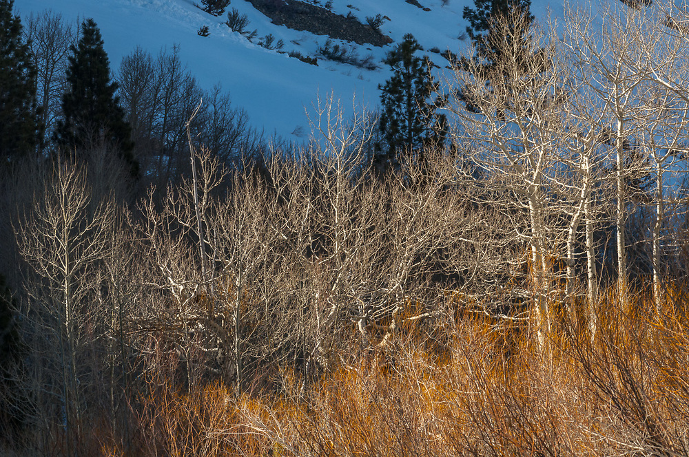 Aspen (Populus tremuloides) and willow (Salix species), afternoon light, April, Inyo National Forest, eastern Sierra Mountains, California, USA.