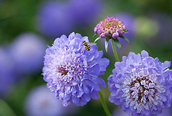 Scabiosa atropurpurea 'Oxford Blue'. Scabious with hoverfly