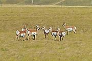 Pronghorn (Antilocapra americana) on the prairie<br />Maple Creek<br />Saskatchewan<br />Canada
