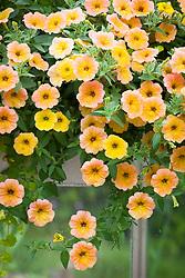 Petunia Cascadias Indian Summer = 'Dcas303' in a window box