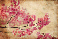 "Taiwan cherry blossoms - stylized into creative and ""vintage"" botanical art."