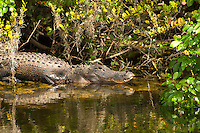 This very wary 7-8-foot adult American alligator is poised to launch itself out from under the cocoplum bushes if I wade any closer deep in the wilderness of the Big Cypress National Preserve in Southwest Florida. As part of the Northern Everglades watershed, this area is very rural, there is often no dry land for miles. No help either in case of an emergency.