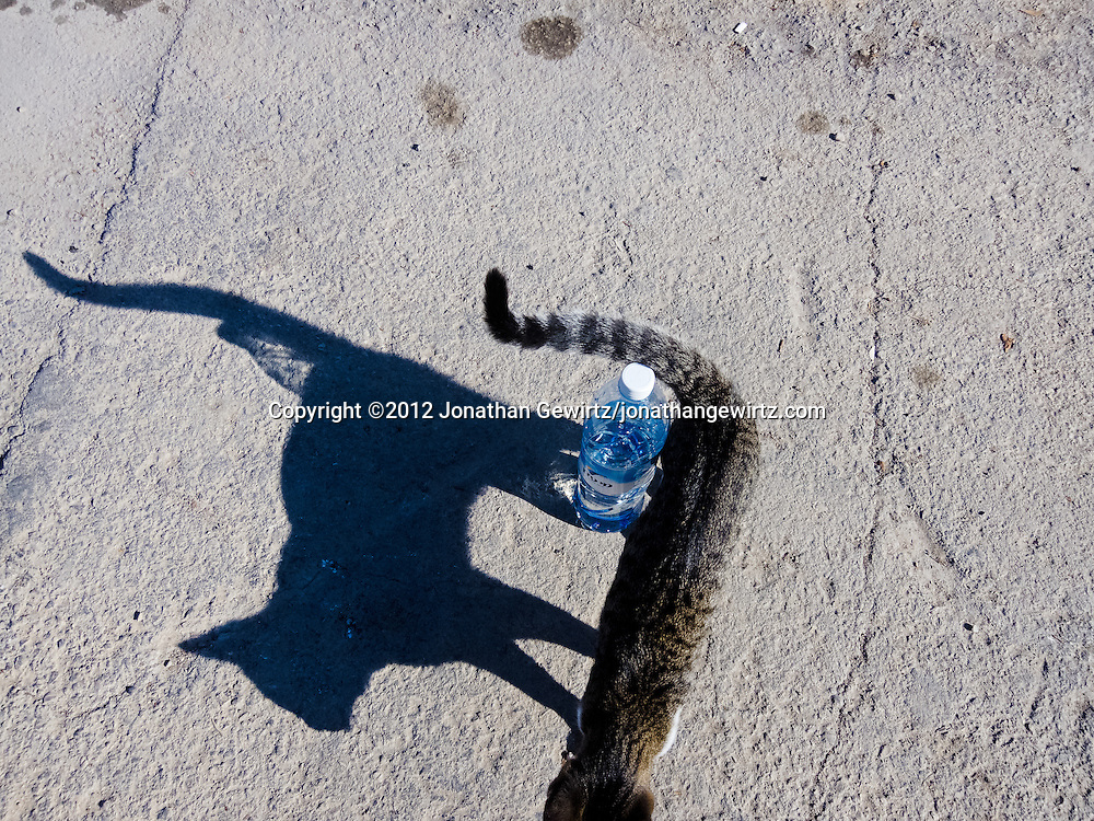 A cat and a plastic water bottle. WATERMARKS WILL NOT APPEAR ON PRINTS OR LICENSED IMAGES.