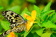This hungry butterfly was caught feeding within the friendly confines of the St. Thomas Butterfly Garden on St. Thomas, US Virgin Islands. Idea leuconoe is the species, also known as the Paper Moon, Rice Paper, or Large Tree Nymph butterfly.