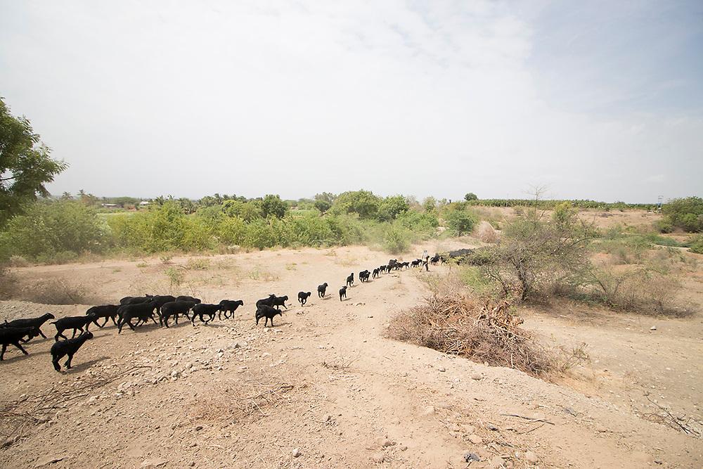Dharmapuri:   Balumama's flock.