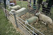 Suffolk Smallholders annual show, Stonham Barns, Suffolk, England, July 2008, Texel Sheep in pens.