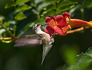 Archilochus colubris, Ruby-Throated Hummingbird, Female