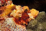 tasseled scorpionfish or smallscale scorpionfish, Scorpaenopsis oxycephala, Sonsorol Island, Palau ( Belau ), Micronesia ( Western Pacific Ocean )