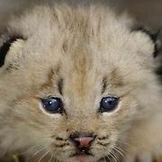 Canada Lynx, (Lynx canadensis) Kitten. Spring. Montana. Captive Animal.