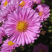"""Asters get their name from the ancient Greek word ????? (astér), meaning """"star"""", referring to the shape of the flower head. Many species and a variety of hybrids are popular as garden plants because of their attractive and colourful flowers."""