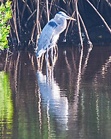 Great Blue Heron (Ardea herodias). Weedon Island Preserve. Pinellas County, Florida. Image taken with a Nikon D300 camera and 80-400 mm VR lens.