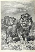Lion and Lioness in the wild From the book ' Royal Natural History ' Volume 1 Edited by  Richard Lydekker, Published in London by Frederick Warne & Co in 1893-1894