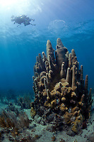 An underwater photographer photographs a stand of pillar coral in Cuba.