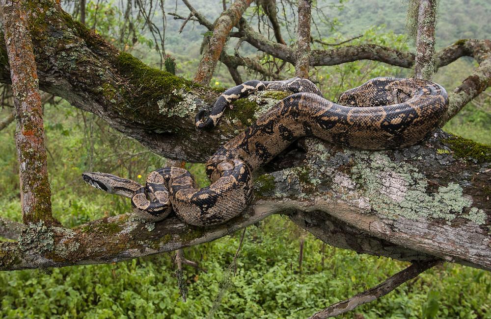 Boa<br /> Boa Constrictor<br /> Machalilla National Park<br /> Coast of ECUADOR.  South America