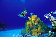diver and orange elephant ear sponge, <br /> Agelas clathrodes, on patch reef, Little Inagua Island,<br /> Bahamas ( Western Atlantic Ocean )  MR 161
