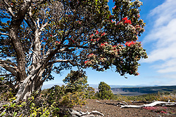 Ohi'a tree, Volcanoes National Park, Big Island, Hawaii