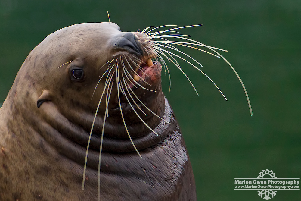Steller sea lion shows off his whiskers