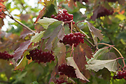 Red berries in British countryside in September near to Coughton, England, United Kingdom.