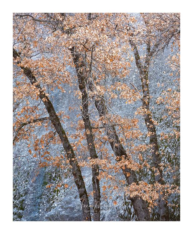 autumn oaks set against a large granite face in Yosemite national park