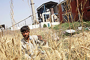 "A young agricultural labourer is harvesting wheat in a field near the village of Shamli, pop. 1500, Saharanpur District, Uttar Pradesh, India, located dangerously near to Shamli Paper Mill, (visible in the background) a large industry discharging untreated wastewaters a few steps away from the field, on Friday, Apr. 18, 2008. Feru, 70, the owner of the field is forced to feed its crops water from the mill's drain. ""We own this land since more than 200 years, while this factory was erected in 1981,"" he adds, ""we filed many complains to the MP offices in both Meerut and Lucknow but nobody in the government listens to us. We are not important to them."" He also laments that ""the soil is becoming defective, and so are our crops whose yield is diminishing year after year."""