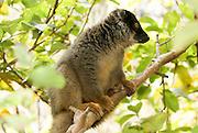 Madagascar, Common Brown Lemur (Eulemur fulvus) on a tree