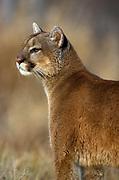 Mountain Lion, Felis concolor, Minnesota, USA, Puma, Cougar,