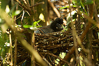 Two White Ibis (Endocimus albus) chicks in their nest in the mangrove trees of the Orinoco River Delta, Venezuela.