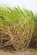 Wind-blown sugarcane plants growing on plantation for raw sugar processing in Louisiana, USA