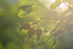 Egelantier, Rosa rubiginosa