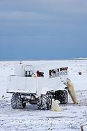 01874-11210 Polar bears (Ursus maritimus) near Tundra Buggy, Churchill, MB