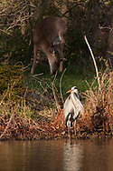 A heron and a white-tailed deer, in the background, by the lake at Fancher-Davidge Park in Middletown, N.Y., on April 20, 2020.