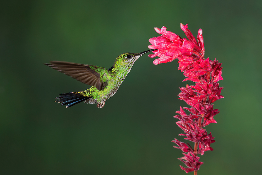 """Green Crowned Brilliant hummingbird<br /> <br /> Available sizes:<br /> 12"""" x 18"""" print <br /> <br /> See Pricing page for more information. Please contact me for custom sizes and print options including canvas wraps, metal prints, assorted paper options, etc. <br /> <br /> I enjoy working with buyers to help them with all their home and commercial wall art needs."""