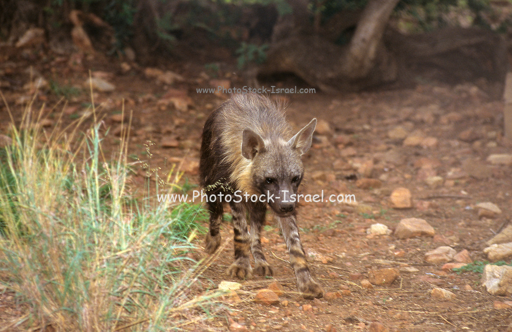 The Brown Hyena (Hyaena brunnea) This carnivore is largely solitary and is extremely shy. It is almost entirely nocturnal, typically hunting small prey such as hares or scavenging on the carcasses of larger animals. During the day it rests in natural or self-dug holes in the ground. Originally found throughout southern Africa, the brown hyena has become increasingly rare due to culling by farmers who believe, wrongly, that it is responsible for cattle losses