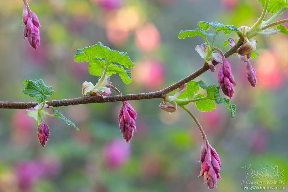 A flowering currant (Ribes sanguineum) begins to bloom in early spring in Snohomish County, Washington. The shrub is native to the western United States and Canada.