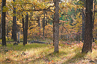 autumn Garry Oak, (Quercus garryana) and Ponderosa Pine (Pinus ponderosa) forest, Klickitat County, WA, USA