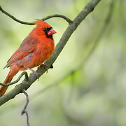 Northern cardinal (Cardinalis cardinalis), perched on tree branch in natural wooded setting, with new spring plumage nearly complete.