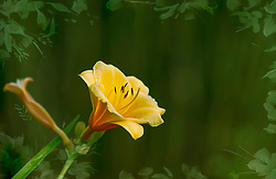 Soft Spring Sunlight Basks A Wild Yellow Daylily. Daylily is the general nonscientific name of a species, hybrid or cultivar of the genus Hemerocallis