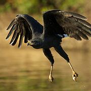 Great Black Hawk, Pantanal, Brazil.