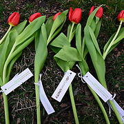 """Close up of tulips with Teva Pharmaceuticals and Parkinson's Unity Walk information during Tulips turn """"Rocky Monument"""" into symbol of hope for Parkinson's Disease CommUNITY campaign on April 2, 2014 outside of The Philadelphia Art Museum in Philadelphia, Pennsylvania. Visit www.parkinsonsonheath.com (Lisa Lake / AP Images for Teva Pharmaceuticals)"""