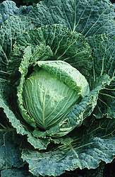 Savoy cabbage 'Best of All'. Brassica oleracea (Capitata Group)